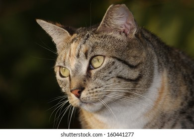 Feral Cat in the Wild Hoping and Waiting to be Fed