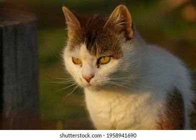 Feral cat with yellow eyes attentive to the prey. Yellow-eyed cat alert to possible prey. White and grey cat with yellow eyes looking at a hunting spot.
