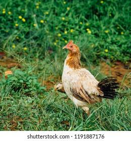 Feral Chickens on Kauai, Hawaii