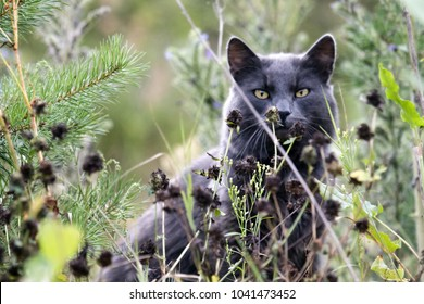 Feral dark gray color cat lurking in grass, hidden cat. Wild eyes, silent predator