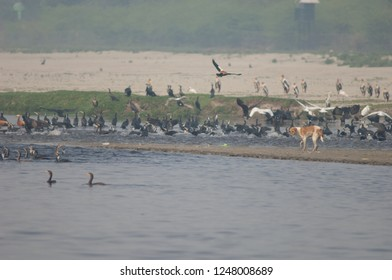 Feral dog (Canis lupus familiaris) and birds fleeing. Yamuna river. Agra. Uttar Pradesh. India.