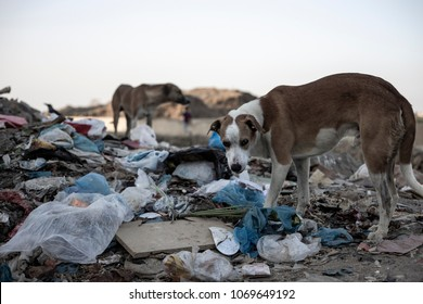 Feral dogs foraging in rubbish on Mumbai beach
