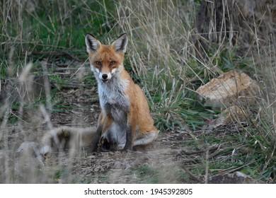 A feral European Red Fox looking forward.