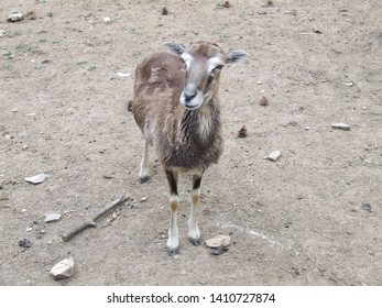 feral goat  in a bulgarian zoo