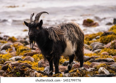 Feral goat near to Fort William Scotland