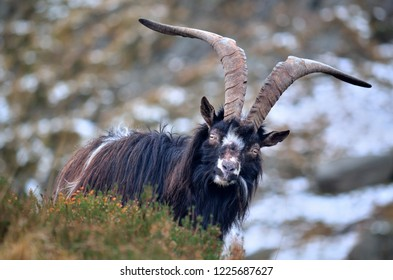 Feral goat in Snowdonia National Park, Wales