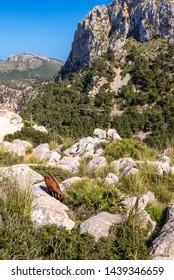 Feral goat standing on rocks at Cap de Formentor, Mallorca, Spain