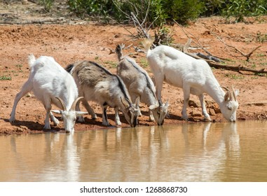 Feral Goats drinking