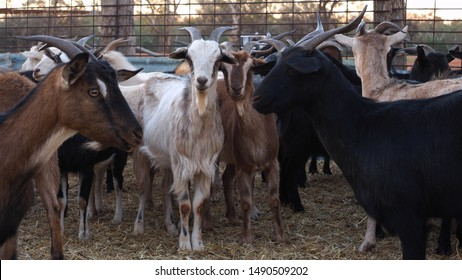 Feral goats have been herded into stockyards in outback Australia. These introduced animals cause great damage to the natural environment of Australia.