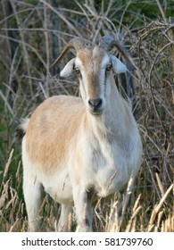 Feral goats have established themselves in many areas: they occur in Australia, New Zealand, Great Britain, the Galapagos and in many other places.