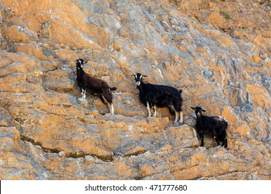 Feral goats Kri-Kri standing on the rocks. (Capra aegagrus). The largest wild mammals on the Crete island. Greece. Europe.