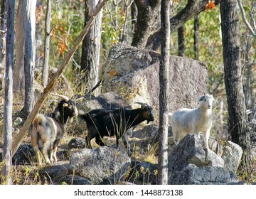 Feral goats in rocky eucalypt woodland beside the Macintyre River in Kwiambal National Park, northern New South Wales, Australia.