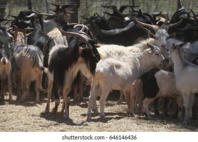 Feral goats in a yard in Australia