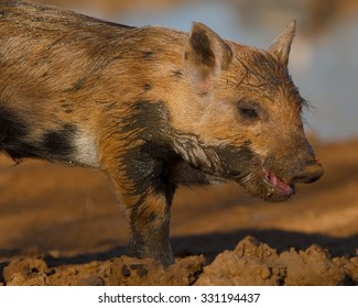 Feral hog after a quick dip in the mud