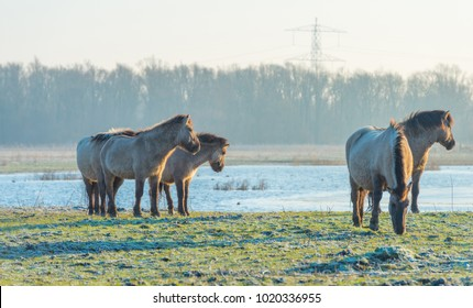Feral horses along the edge of a lake in winter