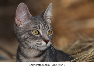 A Feral Large Eared Kitten With Markings Resembling A Savanna Cat