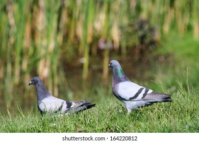 Feral pigeon and racing pigeon standing on grass