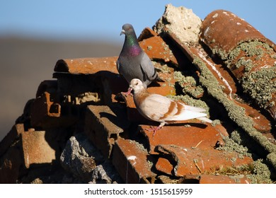 Feral pigeons (Columba livia domestica), also called city doves, city pigeons, or street pigeons sitting sitting on old village roof. Pair of pigeon on the roof.