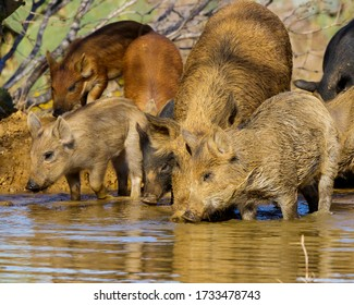 Feral Pigs at the watering hole in South Texas