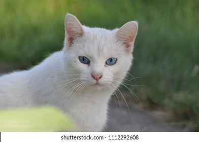 A feral white cat with blue eyes is on the  sidewalk in Tipton, Iowa, USA.