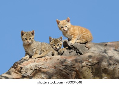 feral wild cat kittens at  home in a hollow tree on  Cooper Creek ,South Australia