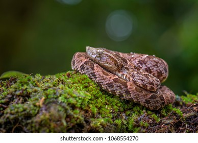 Fer-de-lance - Bothrops atrox, dangerous venomous pit viper from Central America forests, Costa Rica.