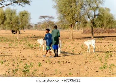 FERLO DESERT, SENEGAL - APR 25, 2017: Unidentified Fulani two boys graze cow. Fulanis (Peul) are the largest tribe in West African savannahs