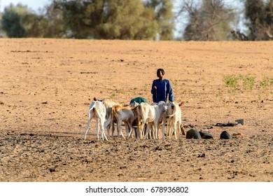 FERLO DESERT, SENEGAL - APR 25, 2017: Unidentified Fulani boy grazes cows. Fulanis (Peul) are the largest tribe in West African savannahs