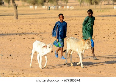 FERLO DESERT, SENEGAL - APR 25, 2017: Unidentified Fulani boy in colored clothes grazes cows. Fulanis (Peul) are the largest tribe in West African savannahs