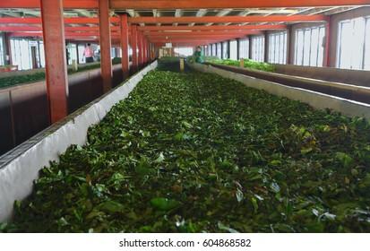 Fermentation of tea leaves in a factory in Sri Lanka