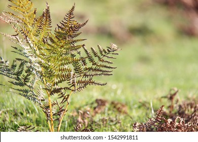 fern with autumal colouring against grass