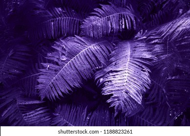 fern big leaves painted in ultraviolet ,fern bushes in forest, dark background