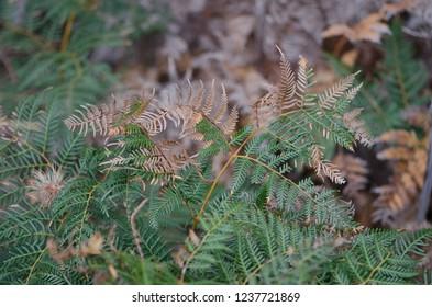 Fern dark leaves texture in Tasmania, Australia