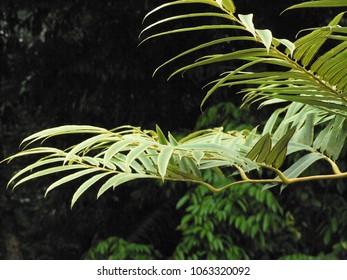 Fern ferns Malaysia
