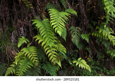 Fern in Galicia, living fossil, fern in Road pilgrimage route to San Xiao do Trebo, In the county of Cariño, A Coruña, Spain, route of pilgrimages to the hermitage located next to the Cape Ortegal,