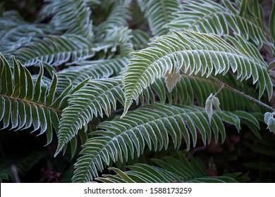 Fern green leaves covered with hoar frost in winter. Frosen winter fern leaves.