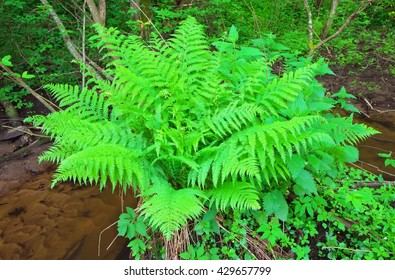 Fern growing in the forest near the creek