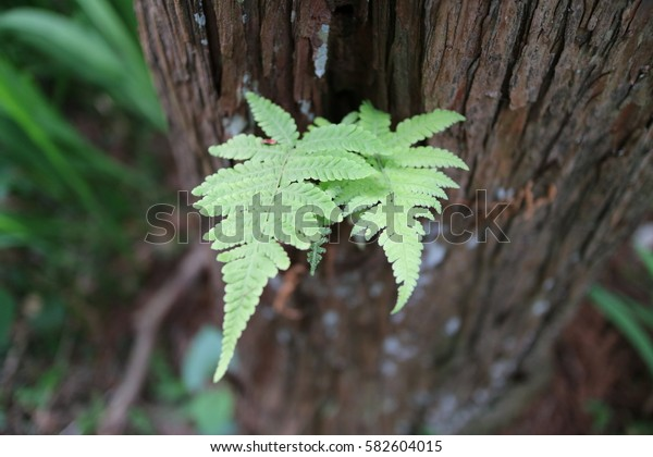 A fern growing on the cedar trunk