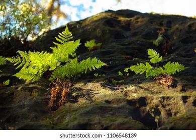 A fern growing on the rock