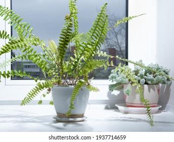 Fern growing on windowsill in room. Home gardening of polystichum.