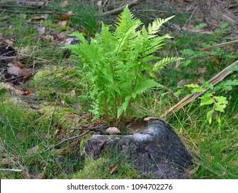 fern grows in tree stump, South Bohemia, Czech Republic