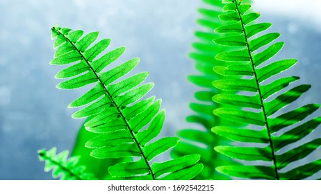 fern, houseplant. Fern leaves on the background of a Sunny window.