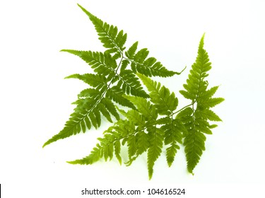 Fern isolated on white background.