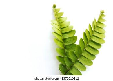 Fern leaf, Daun Pakis