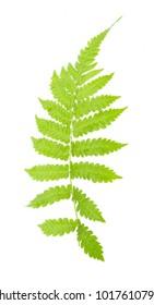 Fern leaf isolated on white background