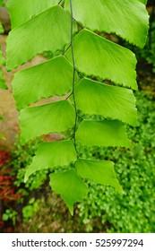 Fern leaf. Fern leaves foliage in the forest