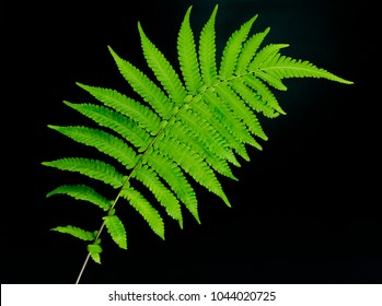 Fern leaf on a black background. Fern plants are not flowering and reproduction by spores released from the undersides of the fronds. with copy space for your text.