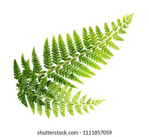 Fern leaf, Ornamental foliage, Fern isolated on white background, with clipping path