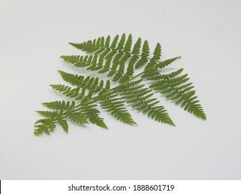 Fern leaf, Ornamental foliage, Fern isolated on white background