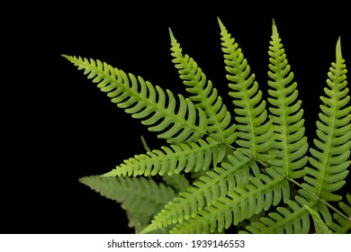 Fern leaf rainforest green plant isolated on black background with clipping path.
